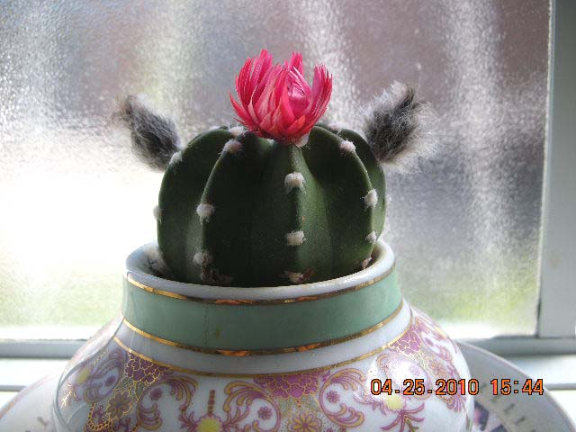 Accidental blogger cactus flower within just one week the cactus has gone from sporting a small pink flower two symmetrical side burns a rapidly growing bud on a stem to a large white mightylinksfo