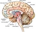 Brain limbic system