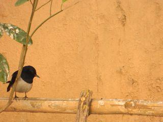 Unknown song bird 001